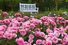 Rose garden. Royalty Free Stock Photos