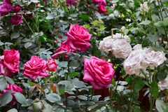 Rose garden with pink and white roses Stock Images