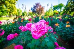 Rose Garden Plants In Sacramento California Royalty Free Stock Images