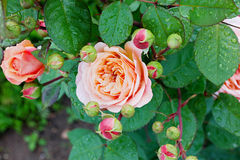 Rose in the garden Royalty Free Stock Photo