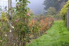 Rose garden on rainy gloomy day Stock Images
