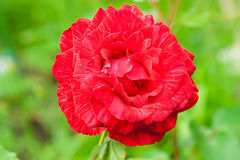 Rose in garden. Royalty Free Stock Image