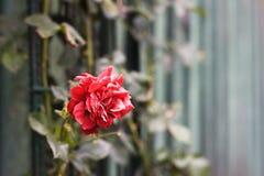 Rose in garden Stock Photos