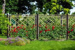Rose garden of red roses planted and growing on a wooden fence. Rose garden of red roses planted and growing on a wooden fence in the garden with a green lawn stock photo