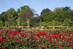 Rose Garden at the Regent's Park Stock Photography