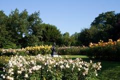 Rose Garden in Regent's Park Stock Afbeeldingen