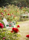 Rose garden in relaxing atmosphere Stock Image