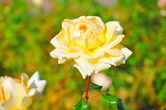 Rose Garden in Riviera Park, Shochi, Russia royalty free stock photography