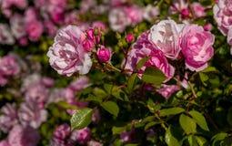 Rose Garden rosa Immagine Stock