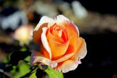 Rose Garden. Roses in a rose garden royalty free stock photo