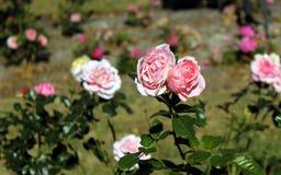 Rose Garden. Roses in a rose garden royalty free stock photos