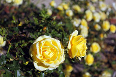 Rose Garden. Roses in a rose garden royalty free stock photography