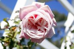 Rose Garden. Roses in a rose garden stock images