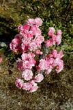 Rose Garden. Roses in a rose garden stock photo