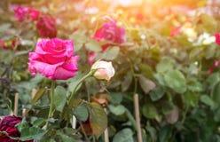 Rose in garden Royalty Free Stock Image