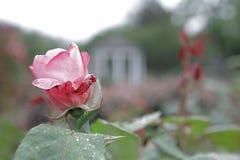Rose Garden Sherbert Petal Bokeh de par en par Fotografía de archivo libre de regalías