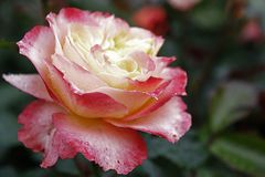 Rose Garden Sherbert Pink Petal sola Fotografie Stock Libere da Diritti