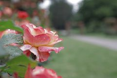 Rose Garden Sherbert Pink Petal a solas de par en par Imagen de archivo libre de regalías