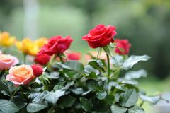 The rose garden Stock Image