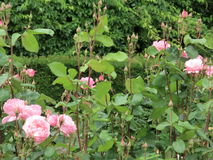Rose garden. Some roses in a rose garden - some in bloom, some not yet Stock Image