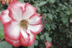 Rose Garden Stowaway Petals Solo Fotografia Stock Libera da Diritti