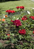 A rose garden Royalty Free Stock Images