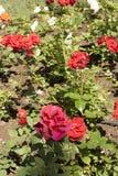 A rose garden Royalty Free Stock Photo