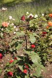 A rose garden Stock Images