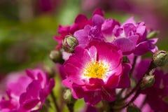 Rose garden royalty free stock photography