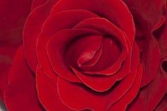 Rose garden Royalty Free Stock Photos