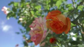 The rose in the garden sways in the wind stock footage