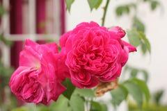 Rose in the Garden Stock Photos