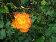 Rose Garden, Tralee, Irlande Photo stock