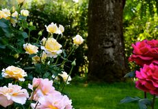 ROSE GARDEN AND TREE. Beautiful, rose garden with a large tree in the background Royalty Free Stock Image