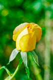Rose in the garden. Yellow rose in the garden Royalty Free Stock Photos