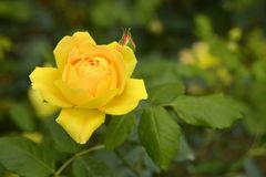 Rose in garden. Royalty Free Stock Images