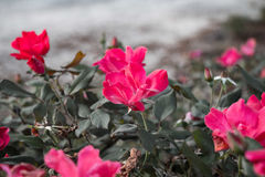 Rose Gardens Stockfoto