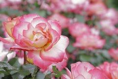 Rose Gardens Sherbert Creme Lovers Fotografia Stock Libera da Diritti