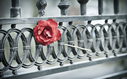 Rose in the gate. A solitary red rose in a metal gate. Seen in Vilagarcía de Arousa, Spain Stock Photo