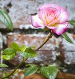 Rose gegen Backsteinmauer Stockbilder