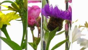 Rose, Geißblatt, Distel und Löwenzahn beim Reagenzglasdrehen stock video footage