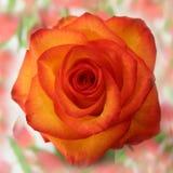Rose gelb-orange Stockfoto