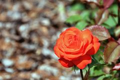 Rose gentille de rouge Photographie stock