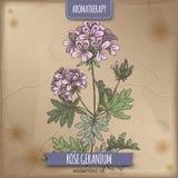 Rose geranium color sketch on vintage background. Royalty Free Stock Images
