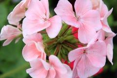 Rose geranium. Pink pelargonium (geranium) in bloom close-up royalty free stock image