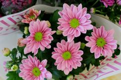 Rose Gerbera daisy in a flower pot Royalty Free Stock Photography