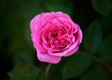Rose Gertrude Jekyll  on Dark Background Stock Images