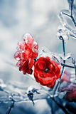Rose ghiacciate Fotografia Stock