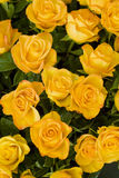 Rose gialle immagine stock libera da diritti