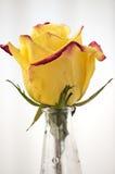Rose gialle Fotografia Stock Libera da Diritti